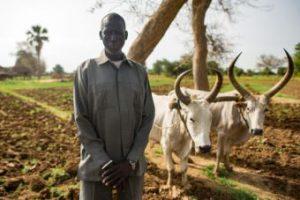 Bul beside oxen