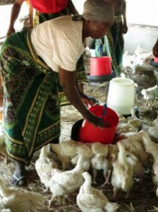 Woman feeds chickens